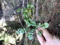 これはクレソンですか?3月8日静岡県中西部の遠州森町の綺麗な水辺に生えていました。