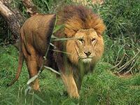 アフリカライオンとインドライオンの違いを教えてください。