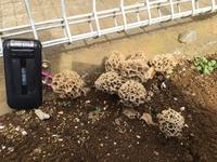 このキノコはアミガサタケ?  庭の片隅にアミガサタケに似たキノコを発見。 乾燥ものを見たことはあるのですが。。。食用かしら?