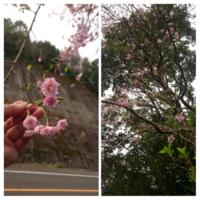 いつもお世話になります 八重咲きのピンク色の桜です 名前教えてください 2017,4,11 鹿児島県鹿屋市