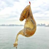 この生物はなんですか? 東京湾で釣りをしていたところ、根掛かりかと思ってあげてみると謎の生物が引っかかりました。 タツノオトシゴの様な形状ですが、内臓が透けてみえます。