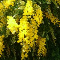 近くの学校に植えてある木(花)です。 樹高は1mほどで、黄色い小さい花が房状に咲いています。 苗を買いたいと思っています。  何という木(花)かわかる方、教えていただきたいです。よろしくお願いします。