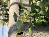 バラの蕾が枯れる?食べられる? ピエールドロンサールやアンジェラなどのつるバラを育てています。最近、蕾が以下の画像の様に、枯れているものがたくさんあります。虫に食われているんでしょ うか?見た所どこにも虫は見つかりませんでした。何か対処法を教えてください