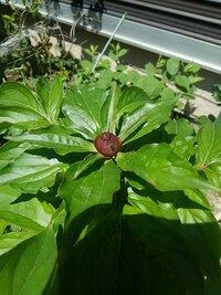 芍薬の花を咲かせる  このところ芍薬が蕾をつけるのに開花しない。  なにか薬品をつけるとか、切り込みいれるとか すれば開花するのでしょうか? 園芸や芍薬に詳しいかた、どうかご教授ください。