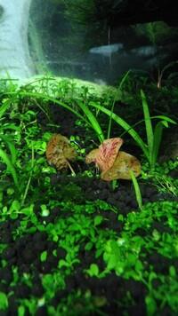 この水草の名前わかる方いますか?  球根みたいな根っこから葉が出てます  298円くらいでした