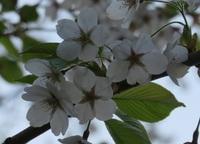 植物の素人ですみません。桃色ではない桜が気になって…。 この桜はエゾヤマザクラ?チシマザクラ? ソメイヨシノではないと思うのですが…。