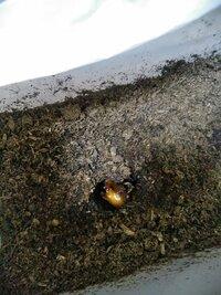カブトムシの蛹の人工蛹室の検討について。 カブトムシの幼虫が蛹になった感じだった(飼っているケースの下側から 見えた)ので、ちゃんと確認したくなり露天掘りをしました。 現在は画像のような状態ですが、下記の点についてご教示願います。 ①人工蛹室へ移したほうが良いのでしょうか? ※天井が開いてしまっている事と、蛹室が崩れそうな感じがする為。 尚、人工蛹室は自作せず、市販品を購入すること...