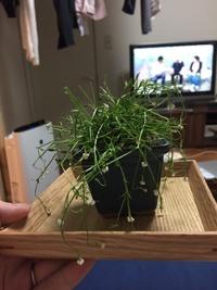 四方八方に伸びる細長い茎の先端に、 白い小さな花が咲いているこの植物の種類を教えて頂きたいです。  気に入っていて育てていたのですが、水切れでぐったりしてしまいました・・・