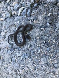 何の蛇の赤ちゃんですか? 青大将ですかね? もしそうだった場合飼いたいのですが すごく小さいので、何を食べるかわかりません...。教えてください!