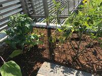 イエロートマトと赤いミニトマトを植えています。育ち方が全然違うのですが、イエロートマトが右でミニトマトが左です。イエロートマトがひょろひょろしています。苗が悪いのでしょうか?肥料が足りないのでしょうか ?何かアドバイスお願いします。実のなり方も右のイエローは10個くらい、ミニトマトは30以上なっています。