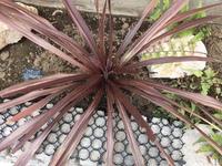 ご教授お願いします。我が家のコルジリネ・レッドスターです。約2ヶ月前に地植えして つい先日、画像のように葉が先端から齧られてしまいました。 特に中央の若い葉の方が美味しいのか、ここが著しくやられてお...