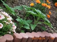 """庭に地植えしたミニひまわりです。  種から栽培したのですが、とても""""ミニ""""とは思えないほど葉そのものも大きくなり、葉の枚数も増えてきました。  株同士の間隔、狭すぎだったでしょうか???"""