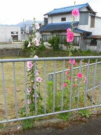 この植物何でしょうか? 野生化しているようで、 歩道や田んぼ等に生えています。