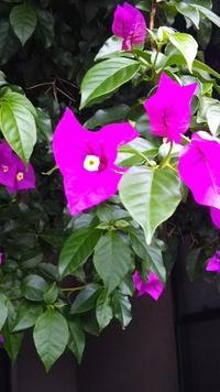 通りすがりに見かけた花です。二階から垂れ下がるように茂っています。名前を教えて下さい。