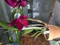 カトレア開花について 昨年11月末に、開花株を購入しました。品種はcattleya burgundy delightです。冬を越し、外で大事に育てていたところ、開花しました。開花時期は秋から冬と認識していた のでこの時期の開...