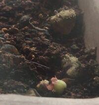 ブルーベリーのプランターに糸状の白っぽいミミズのようなものが数匹土の上にいました。 この生物は何でしょうか? 調べてヒメミミズかなと思ったのですが、頭が細長くなっていて線虫の形状に似ています。 線虫っ...
