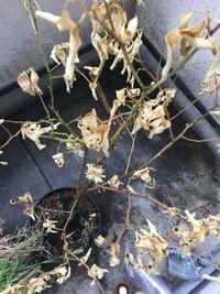 鉢植えのレモンの木を数ヶ月ほど放置してしまって葉っぱや枝が茶色になってしまいました。復活可能でしょうか? それと、5年ほどかけて育てて一度も実ができていません。何か問題があったのでしょうか? 解答よろ...