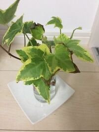 アイビーの挿し木を水挿しで育てています。 キッチンに置いていたところ下の写真のように葉っぱが茶色くなってしまいました。 このようになった葉っぱはもう、もとにはもどりませんか?