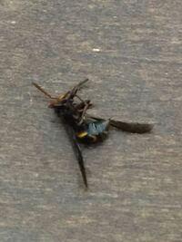 これはハチですか?アブですか?名前教えて下さい。どういう奴かも。最近家の中によく現れます。
