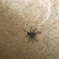 2.5〜3センチくらいの大きさなのですが、この蜘蛛の種類は何でしょうか? アシダカグモかな?と思ってましたが違うでしょうか?