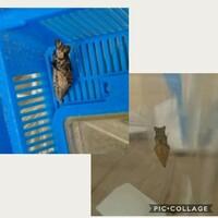 蝶の幼虫が黒いのですが、これは異常ですか?越冬するのでしょうか?   よろしくお願いいたします