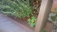 ローズマリーのプランターに雑草が。右下のハート型の草。どなたか名前ご存じないでしょうか?