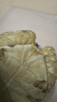 うちのリクガメの甲羅の裏側が割れています。カルシウム不足でしょうか?なおりますか?