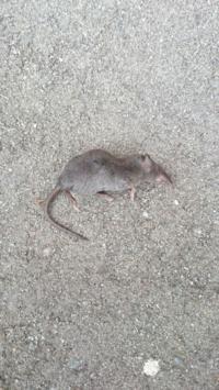 家で飼っている猫が採ってきました。 ネズミのようなもぐらのような、よく分からない動物です。  どなたかご存じなかた教えて下さい。