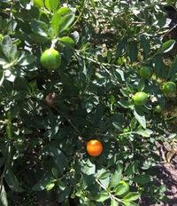 1cm位の大きさの丸い実ができるこの植物は何ですか?この実は、最初は緑色で、オレンジ色に変化します。
