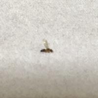 先日家で茶色でお尻?だけ黒い羽の生えた蟻を3匹程見つけました 巣がどこにあるかはわかりません  とりあえずアリの巣コロリを買ってきました  この蟻はなんという種類の蟻か分かる方おら れますか?