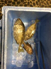 写真右下の小さい魚の名称をおしえていただきたいです。 昨日釣ったのですが種類がわかりません。 よろしくお願い致します。