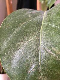 観葉植物の葉っぱが部分的にベタついていて、白い粉のようなものも付いています。 これは病気になっているのでしょうか?