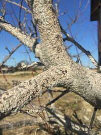 スモモの木ですがカイガラムシで木、全体が真っ白です。ブラシで落とす範囲内を超えてます、ブラシを使わないでカイガラムシを駆除する方法ありましたらアドバイスお願いします。