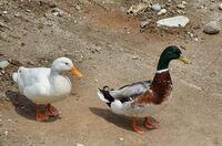 アヒルってなぜ白くなったのでしょうか? もともと、マガモが本来の種であり、それを家畜として品種改良したのがアヒルだと聞きました。 マガモとアヒルを交配させた合鴨なんてのも食用として人気あるようですが...