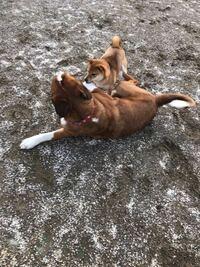 ドッグランに行ったら柴犬は大型犬と小型犬どちらののコーナーに入ればいいのですか? うちの子はかなりやんちゃなので大型犬と遊ぶ方がしっくりくるんですが。