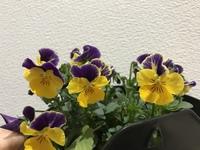 ビオラの花が斑ら模様になっているんですが、モザイク病などのウィルス病でしょうか?