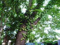 『楠の木』の枝の伐栽について  他者の土地に越境している楠木の枝を伐栽しようと思います。  枝の直径は、10~15cm程度で4~5本を切る予定です。  質問です。 楠木の枝の選定ですが、今の時期でも良いでしょうか?  楠木の枝が硬くて、ノコギリの歯が負けてしまいます。 電動ノコギリも考えていますが、なにか良い方法は無いですか?   「プロ(庭師)に頼めば良いです」以外...