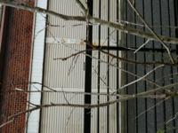 サルスベリ 百日紅の枝の剪定、 どこまで切っていいのかわかりません。  昨年春に植えたものです。 一度、秋に簡単に切りましたが、 まだ小枝が残っています。  切りすぎて枯れるのが怖いです。  どなたか、よろしくお願いしますm(_ _)m