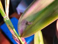 カトレアにつく虫 今日ミニカトレアを買ってきました 早速水やりをしたところこのような虫が二、三匹目…嫌な予感がしたので鉢をバケツに少しつけたところさらに二匹浮いてきました  もうでないだろうと安心して戻したところ花に一匹ついてました。正直気持ち悪いです。この虫は何という虫でしょうか?