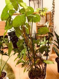 観葉植物の質問です。 シンゴニウムを一年ほど育てていますが、大きくなりすぎてしまいました。 背丈が伸びすぎて自立出来なくなったので、去年植え替えをして、行燈仕立てにしたのですが、更に伸び続け行燈を越える高さに…  しかも背丈は高いのですが、全体的にスカスカしていてちょっと貧相な感じです。 このシンゴニウム、どのように仕立て直しをしたらよいでしょうか…? 切り戻して丈も少し低くしたいのですが、...