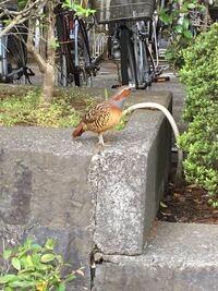 この鳥はなんという鳥でしょうか?4月20日に市街地にて発見しました。鳴き声がとても大きかったのが印象的です。