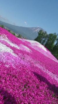 北海道の芝桜が見れる場所について 以下の写真の芝桜を見に行きたいのですが、場所がわかりません 北海道だということのみ、判明してます。 私の予想は滝上公園の芝桜ではないかと思います。 以下の写真の場所が...