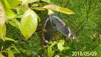 蝶の名前を教えて下さい。岐阜県鳩吹き山で、20180509,