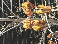 植えてから三年半程の常緑ヤマボウシです。 他の木達は、フサフサ葉が生い茂ってますが、このヤマボウシだけ葉が出て来ません。 花が咲きそうな芽が確認出来てから、3か月以上経ちますが、よ く見るとその芽も何だか枯れてるようにみえます  この木は枯れてるんでしょうか? 植えてからこんなに花芽が付いたのが初めてで、楽しみにしてたんですが。。 昨年は1つでけ花が咲きました。