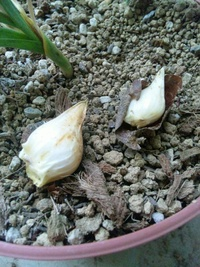 原種チューリップの球根を掘り上げてみたら皮が剥けてしまいました。 この場合、鉢に植え直して極度に乾燥した状態が続かない程度に水を与えて夏越しさせた方がいいのでしょうか? それとも通常通り日陰で保存が良いのしょうか?
