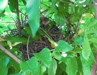 キジバトについてです。   4月28日頃に口いっぱい小枝をくわえて運んでいる姿をみて、  その後5月1日から今日までずーっと巣に座り込んでいます。 雄と雌の2羽が入れ替わって座っているようですが、  巣に卵があるのかどうかは??です。   巣は私の頭から15cmほど上の位置で、  玄関を出て門扉までの通路の途中にあるので、  毎日出かける時にちらっと歩きながら見る程度ですので...