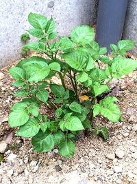 これってジャガイモの葉でしょうか?   単なる雑草でしょうか?   判る方、教えて下さい。