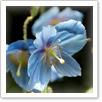 ヒマラヤの青いケシ  ディズニーシーでメコノプシス(別名:ヒマラヤの青いケシ)が、毎年5月頃に咲いているらしいのですが、その場所に行っても見つかりません。 今年も咲いているのか。 ど こに咲いているのか。 詳しいことがわかる方、情報をお願いします。