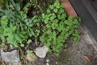 植物の名前についてご質問させてください。 写真右に写るクローバーのような植物について、白い模様がないのでシロツメグサではないのでしょうか。この植物の名前をご存知の方いらしゃいましたら教えていただける...