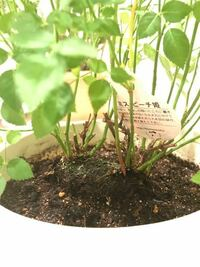 ミニバラの植え替えについて 一昨日、ミニバラの植え替えを行いました。 大きめの鉢に植え替えたのですが、土が少し足りず、写真のように土から少し浮いているような状態になってしまいました。 今のところ弱っているような様子はありませんが、土を足し入れるべきでしょうか。  アドバイスいただけましたら、幸いです。